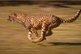 Cheetah_chase.jpg